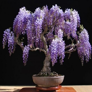 ** 5 ** Bonsai Wisteria Seeds