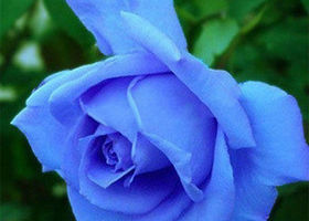 5 ~ Blue Rose Seeds ~