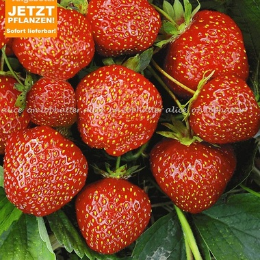 Rare Strawberry Hummis 20 seeds
