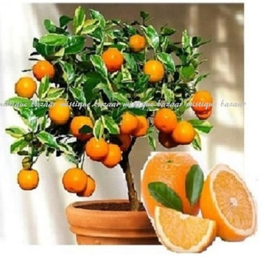 Beautifully Delicious Dwarf Orange 10 seeds
