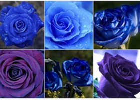 25 BLUE ROSE SEEDS