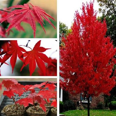 ** 10 ** Red Maple Trees Seed